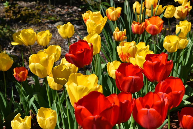Close-up of multi colored tulips in field