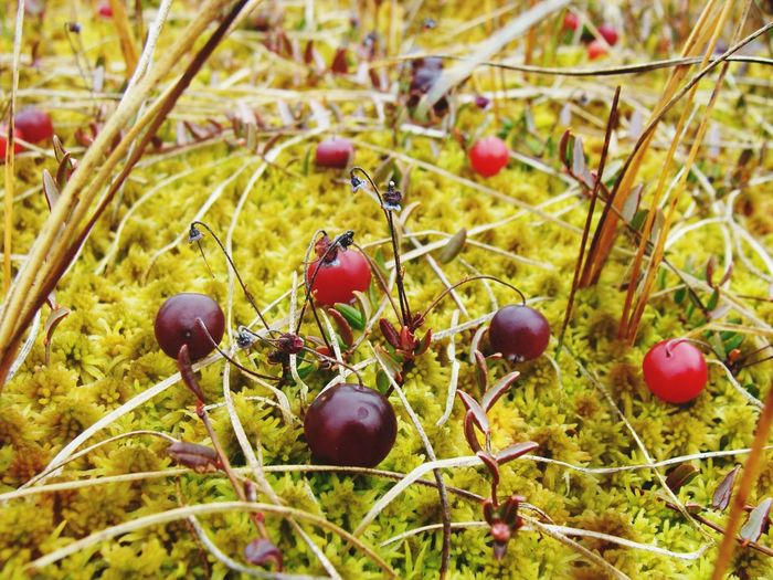 Close-up of cranberries growing on plant