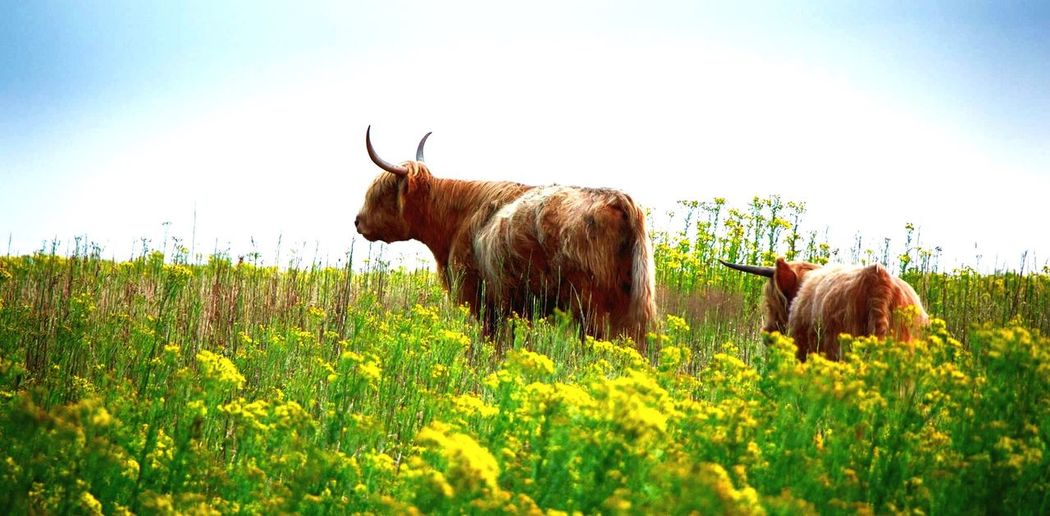 Nature Beauty In Nature Wildlife Mother & Daughter Hooglanders Beautiful