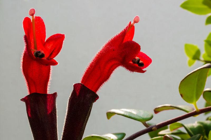 Red Lipstick Flower. Lipstick Plant (Aeschynanthus radicans jack) Aeschynanthus Angiospermae Close-up Eudicotyledonae Flower Gesneriaceae Macro Photography Nature No People Outdoors Petal Plant Radicans Red Red Lipstick Simplicity Spermatophyta