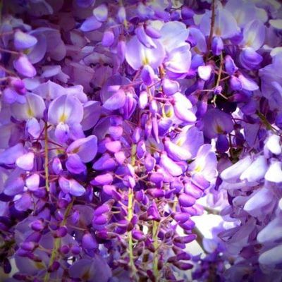 Wisteria Flower Purple Backgrounds Flower Nature No People Beauty In Nature Freshness Growth Close-up Outdoors Day Lefka Cyprus Lefka, Cyprus