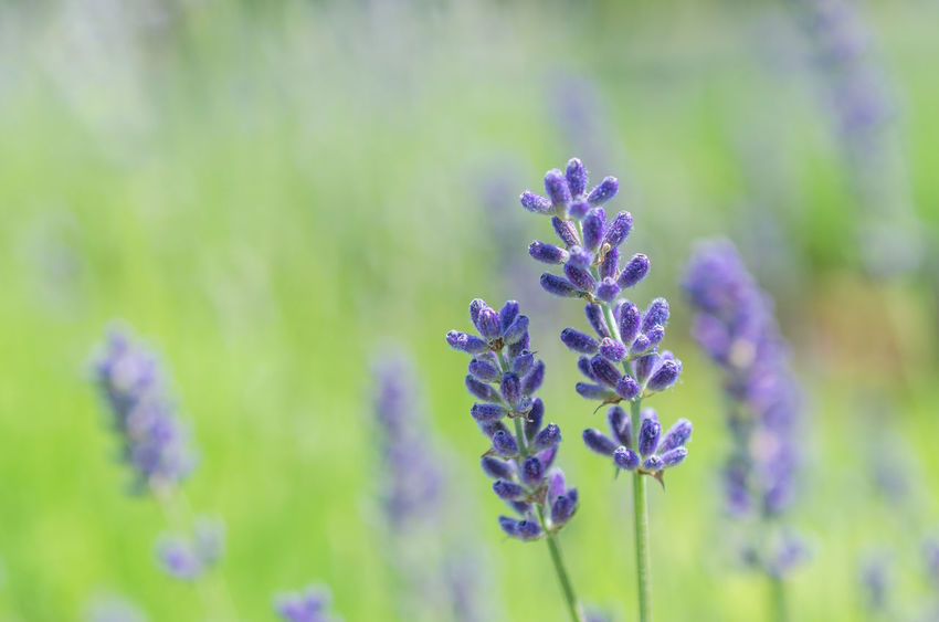 Beauty In Nature Blooming Blossom Blue Blue Lavender Botany Close-up Day Flower Flower Head Focus On Foreground Fragility Freshness Green Color Growing Growth In Bloom Nature Outdoors Petal Plant Purple Selective Focus Stem Tranquility