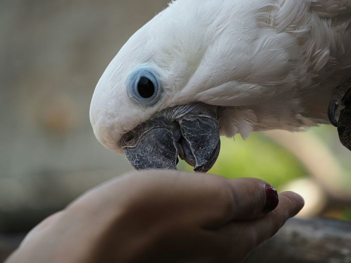 Cropped Hand Feeding White Cockatoo