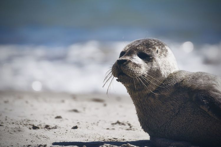 Close-up of young seal on beach