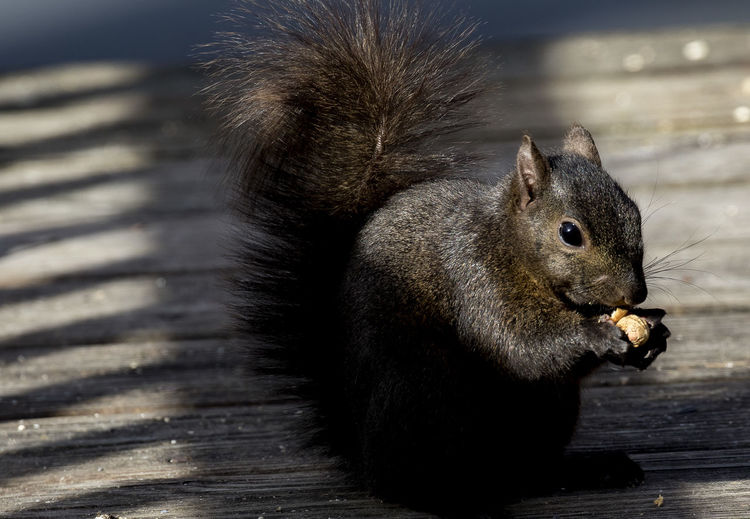 Eating on the deck Animal Themes Animal Wildlife Animals In The Wild Black Squirrel Eating Peanuts Close-up Day Eating Mammal Nature No People One Animal Outdoors Shafts Of Light Squirrel Wood - Material