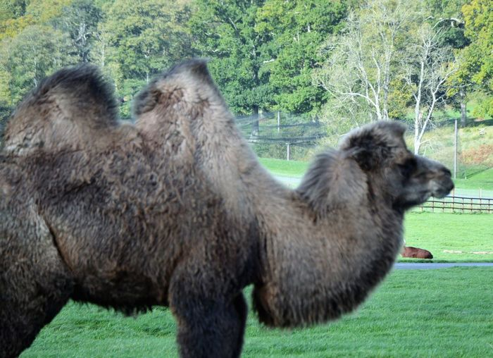 Bactrian Camel Grazing Livestock Long Legs Pasture Animal Portrait Animal Themes Backgrounds Close-up Day Desert Animal Domestic Animals Dromedary Field Furry Grass Grazing Cattle Hump Mammal Nature No People Outdoors Tree Two Humped Zoo Animals
