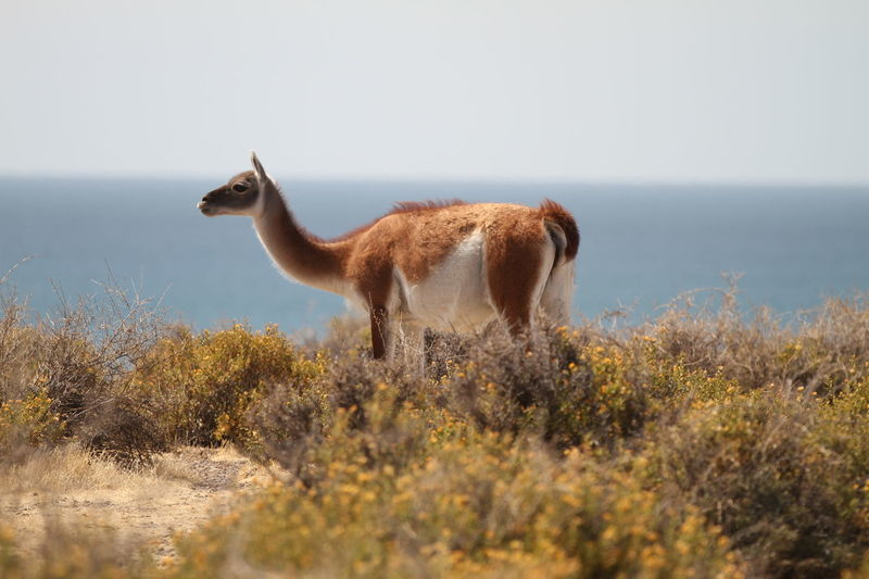 Animal Themes Animals In The Wild Beauty In Nature Day Domestic Animals Grass Guanaco Mammal Nature No People One Animal Outdoors Plant Sky