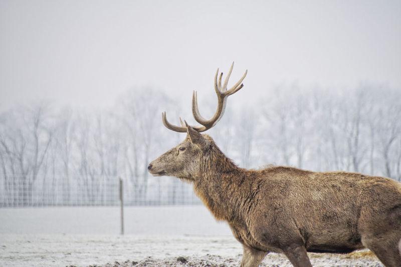 Deer standing in snow during winter
