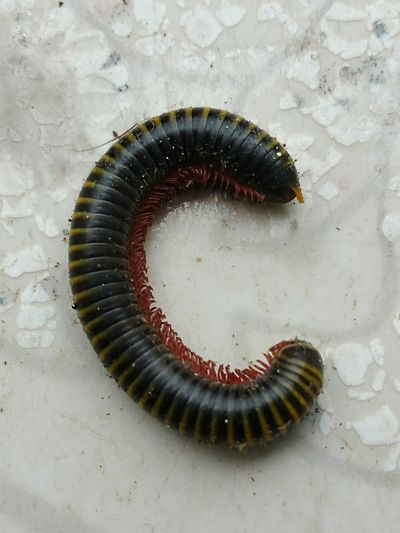 Millipede Milpies Insect Photography