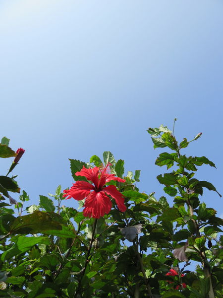 Flower Red Nature Sky Low Angle View No People Clear Sky Day Fragility Freshness Outdoors Japan Hibiscus Hibiscus 🌺