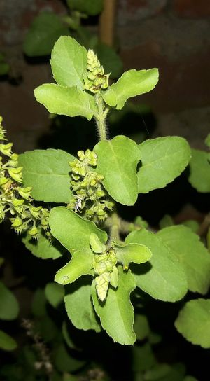 Close Shot Green Leaf Tulsi Leaves Night Photography Mobile_photographer Pic24