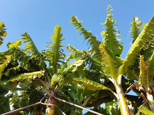 Plant Angle View Worm's-eye View Nature_collection Nature Photography Green Color Photography Landscape_Collection Landscape_photography Cultivated Landscape Vacation Time Madeira Island Blue Color Bildfolge Sky Banana Tree Agricultural Land Plantage Banana Leaf Banana Leaves Banana Fruit Tree Leaves Growth Leaf Nature Day Agriculture Sunlight