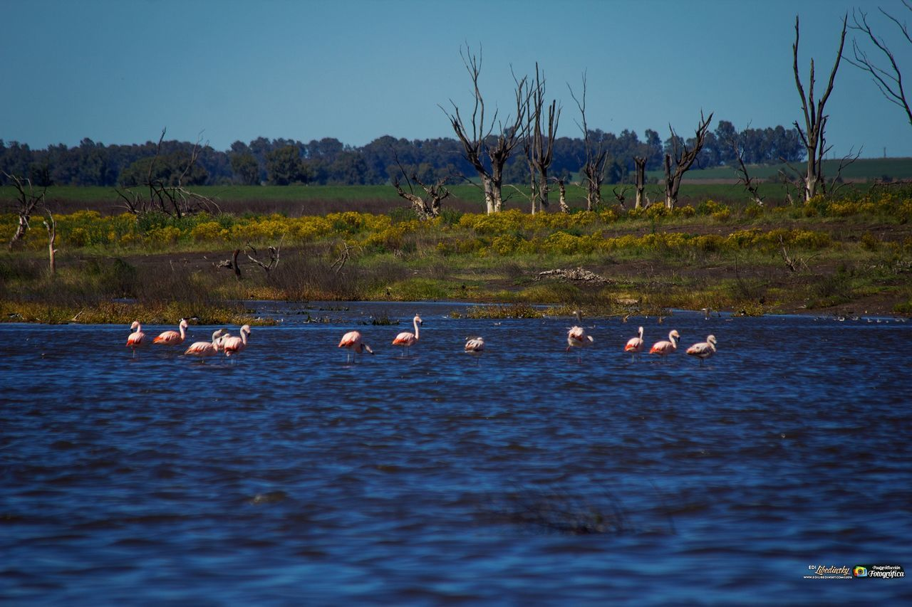 nature, animals in the wild, bird, large group of animals, no people, outdoors, animal themes, water, lake, beauty in nature, day, sky, flamingo