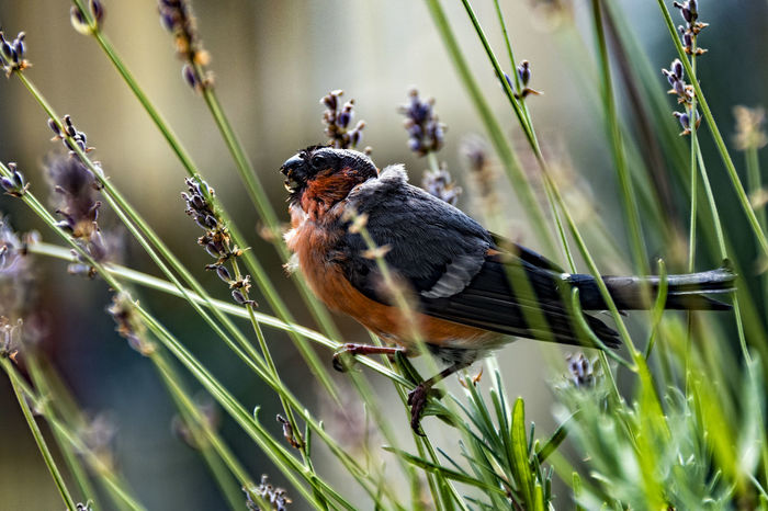 GimpelMale_4 Animal Animal Themes Animal Wildlife Beauty In Nature Bird Close-up Day Dompfaff Focus On Foreground Gimpel Grass Green Color Growth Male Nature No People Outdoors Plant Selective Focus Wildlife