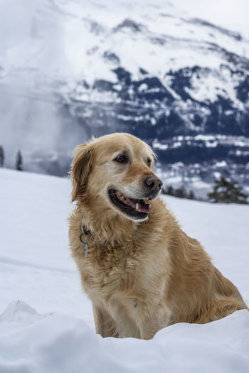 Dog looking away on snowcapped mountain