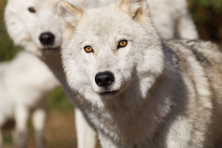 Nature Wolves In Forest White Wolves Wolf Outdoors Fun Day Out Close-up Beauty In Nature