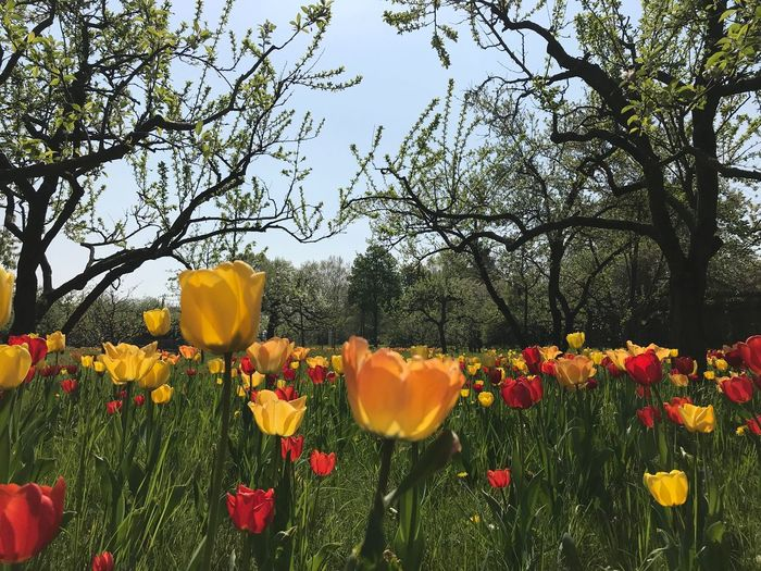 Tulipan Tulips Plant Flowering Plant Flower Freshness Growth Beauty In Nature Fragility No People Inflorescence Close-up Field Sky Land Nature Yellow
