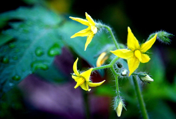Fragility Freshness Litle Flowers Macro In Home Garden Maximum Closeness Single Scene Tomato Flowers Water Yeloow Flowers