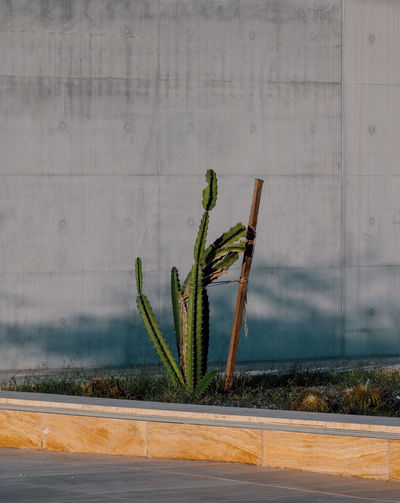 Cactus plant growing by road against wall