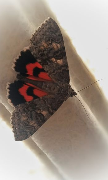 Red Underwing Moth: (Catocala nupta) on fibreglass roof support. Red Underwing Moth Catocala Nupta Moths Beauty In Nature Beautiful Nature Nature's Diversities Tadaa Community Striving For Excellence Exceptional Photographs EyeEm Masterclass Eye4photography  EyeEm Nature Lover EyeEm Gallery EyeEm Best Shots - Nature