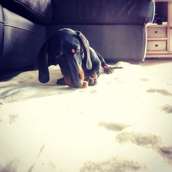Puppy Dashund Teckel Capbreton