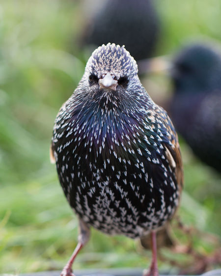 Animal Themes Animal Wildlife Animals In The Wild Bird Bird Photography Close-up Common Starling European Birds Nature Nature Photography No People One Animal Starling Sturnus Vulgaris Western Palearctic Wildlife & Nature Wildlife Photography