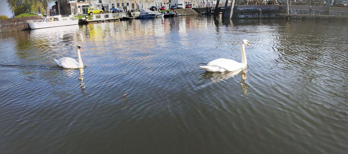 Swans Water Outdoors Day Waterfront Bird Swan Lake Swans Of Eyeem Animal Themes Swimming Brielle Avian Big Birds