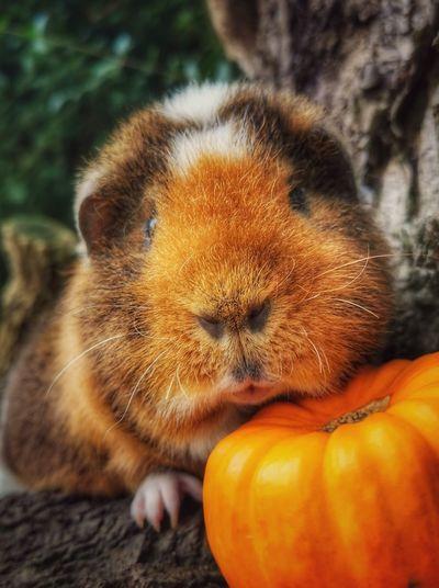 Close-up of orange pumpkin and pet