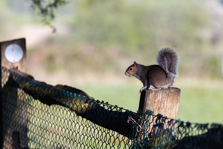 Squirrel on wooden post