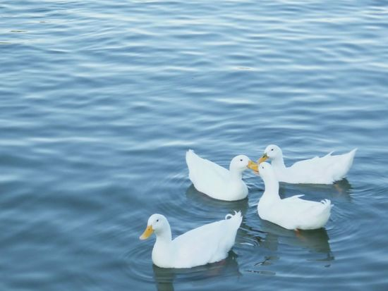 Animal Themes Lake Nature No People Day Patos Ducks Swimming Bird Swimming Outdoors Water Artificial Lake Blue White Color
