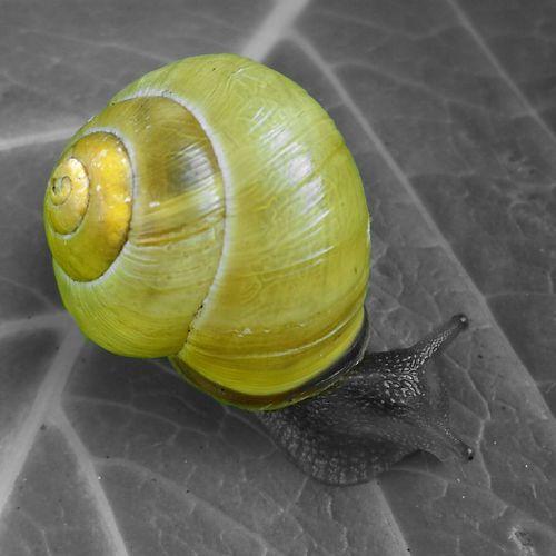 ..Dream Awake.. Snail Snail Collection Natureshooters Nature Photography Lovelynatureshots Photoart Art Blackandwhiteandcolor Blackandyellow EyeEm Nature Lover