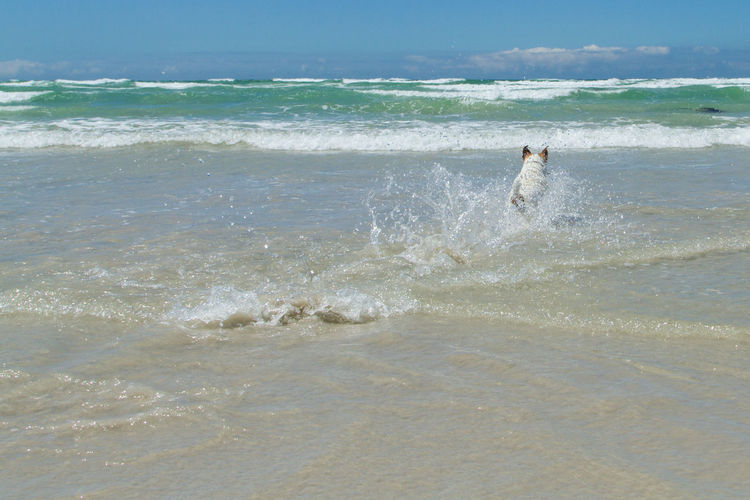 Jack Russell fetching his ball in the shallow waves of the ocean Animals Ocean Outdoors Ball Dog Jack Russell Sea Water Wave Motion Land Beach Horizon Over Water No People Jumping Animal Animal Themes Swimming