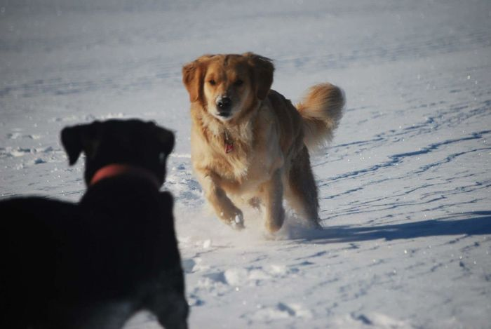 Dog Pets Animal Themes Winter Cold Temperature Snow Retriever Dogs Dogslife Dogs Playing  Dogs Life Golden Retriever Labrador Labrador Retriever Hund Hunde Play Playing Schnee Schneelandschaft Winter Jagd