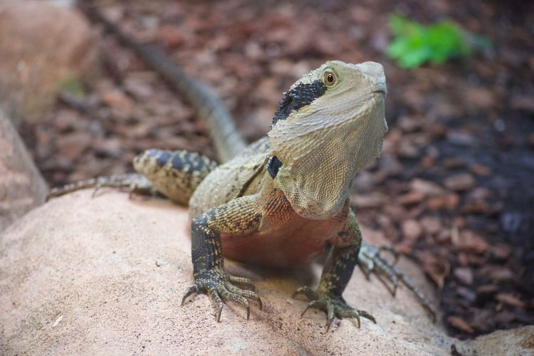 Animal Themes Animal Wildlife Animals In The Wild Bearded Dragon Close-up Day Lizard Nature No People One Animal Outdoors Reptile