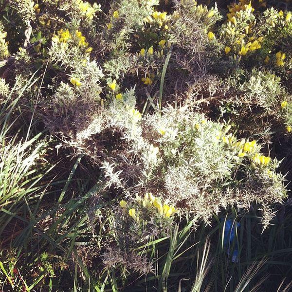 Como algo tan aleatorio y silvestre puede ser tan hermoso. Naturaleza salvaje #cardo #tojo #galicia #nature #wild #secretgarden Wild Cardo Secretgarden Tojo Nature Galicia