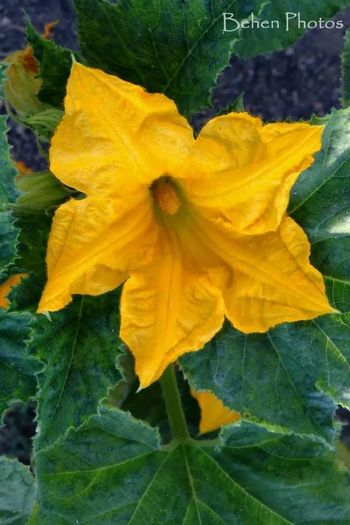 Squash bloom stretching is pedals after a long nights rest. In My Garden La Passionforflowers Flower