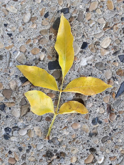 Leaf Season  Autumn Yellow Close-up Nature Vibrant Color Yellow Color No People Changing Seasons Leaves End Of Summer Spruce Grove, Alberta Samsung Galaxy S5 Neo Non-urban Scene Beauty In Nature Concrete Contrast Concrete Contrast