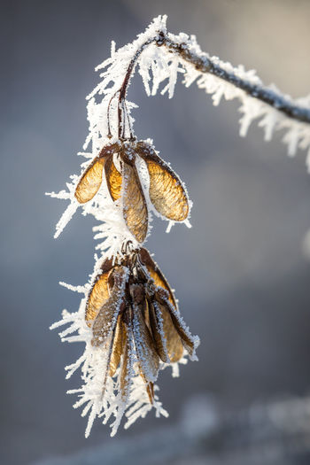 Beauty In Nature Close-up Cold Temperature Day Focus On Foreground Fragility Frozen Hanging Nature No People Outdoors Snow Winter