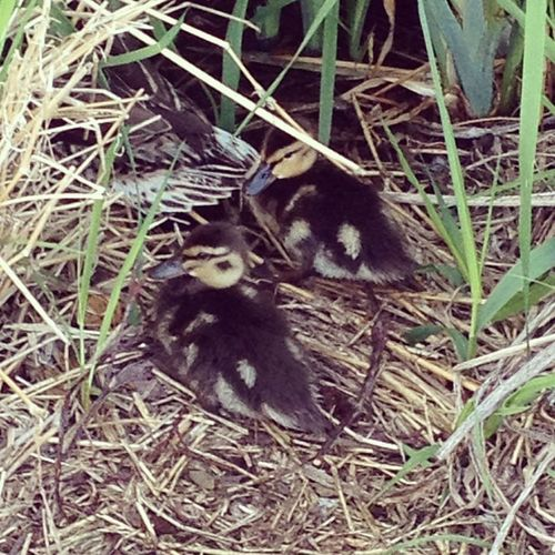Babyducks Ducklings Sotiny Carrieblakepark