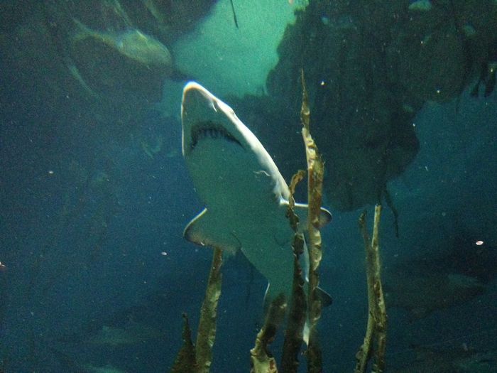 Shark in water Aquarium Beauty In Nature Blue Close-up Fish Green Color Nature No People Outdoors School Of Fish Sea Life Shark Swimming Tranquility UnderSea Underwater Water