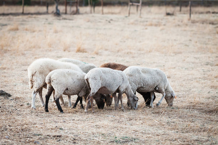 Animal Themes Animals In The Wild Day Domestic Animals Field Grass Grazing Large Group Of Animals Livestock Mammal Nature No People Outdoors Sheep