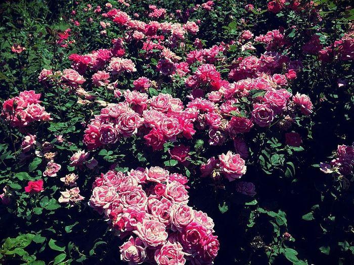 Roses Flowerporn Flowers