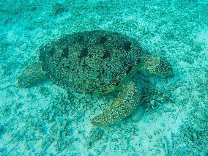 Sea turtle in japan