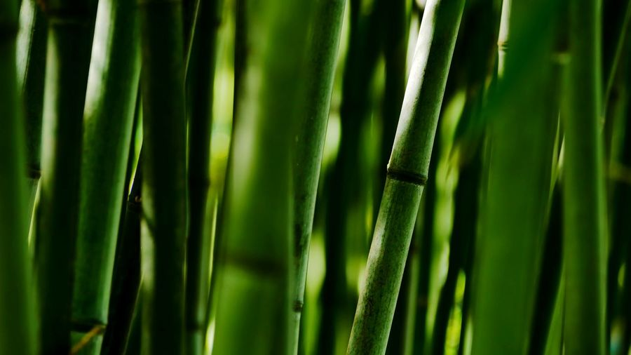 bamboo forest Bamboo Bamboo Forest Bamboo - Plant Bamboo Shoots Bamboo - Plant Beauty In Nature Green Is Life StillLifePhotography Nature Photography Nature_collection Growth In Nature Lumix GX80 Palm Tree Frond Backgrounds Full Frame Complexity Palm Leaf Close-up Plant Green Color