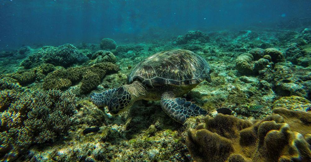 Marinelife Travel Freedive Nature Marinesanctuary Seaturtle UnderSea Sea Life Water Sea Underwater Colony Coral Scuba Diving Multi Colored At The Bottom Of Deep Ocean Floor Underwater Diving Snorkeling
