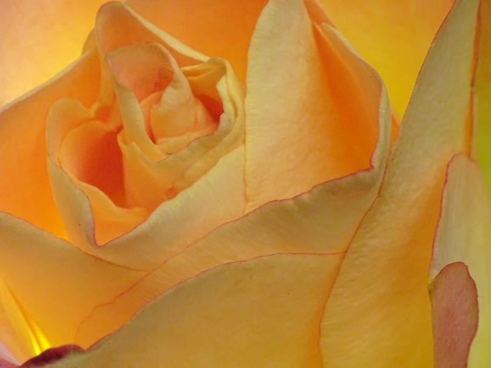 Rose🌹 Rose♥