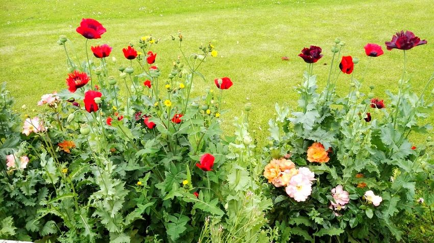 Flower Nature Red Poppy Freshness Fragility