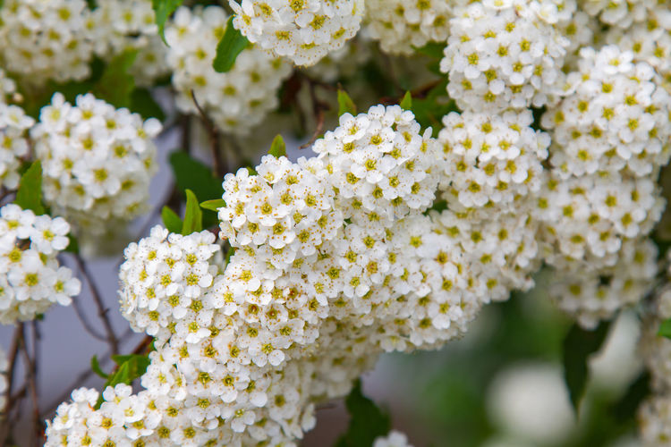 spring blooming guelder-rose shrub, round white flowers Flower Vulnerability  Fragility Flowering Plant Beauty In Nature Freshness Plant Close-up Day Growth Nature Petal Inflorescence Focus On Foreground Flower Head Selective Focus No People Outdoors Yellow Botany Lantana Bunch Of Flowers