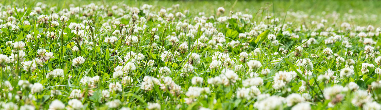 White flowering plants on field