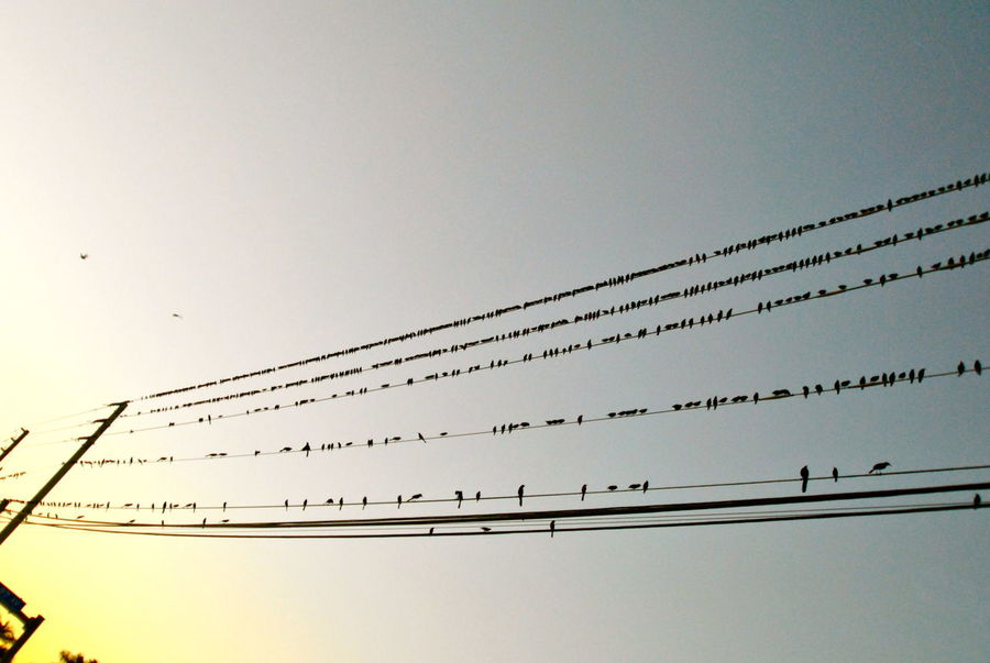 Animal Themes Bird Clear Sky Flock Of Birds Large Group Of Animals Low Angle View Row Of Birds Shades Of Color Sunset